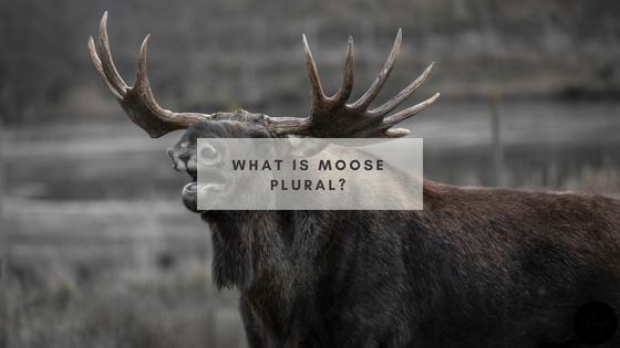 What is moose plural
