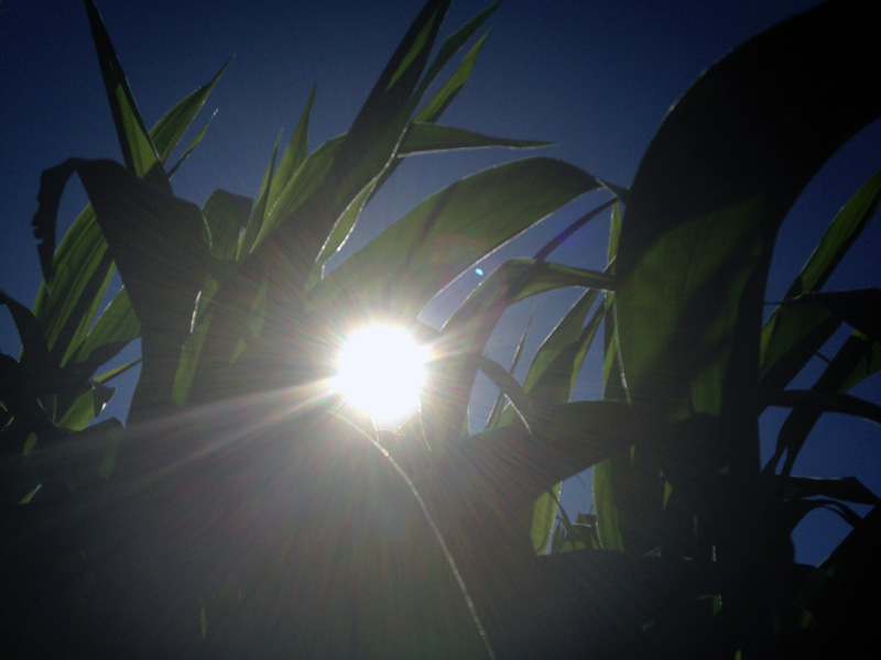 Corn in the sunset at Maan Farms