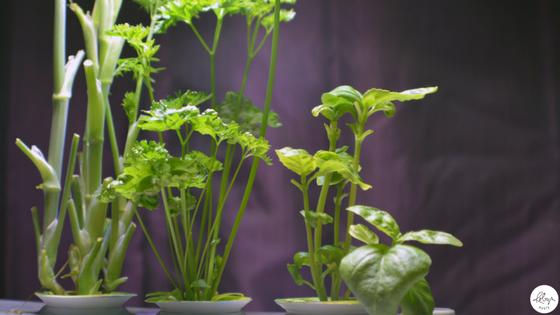 indoor gardening herbs
